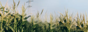 A background of a corn field.