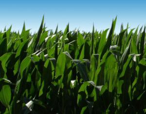 corn background 2