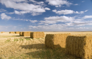 Several hay bales in a field.